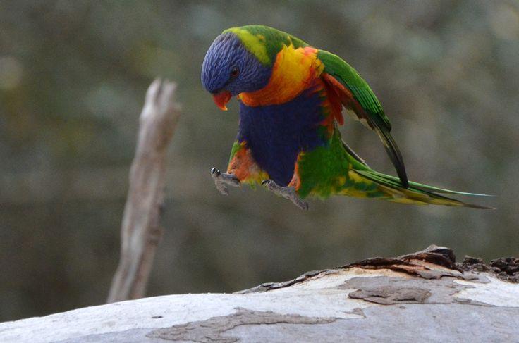 An adorable Rainbow Lorikeet hopping around a gumtree