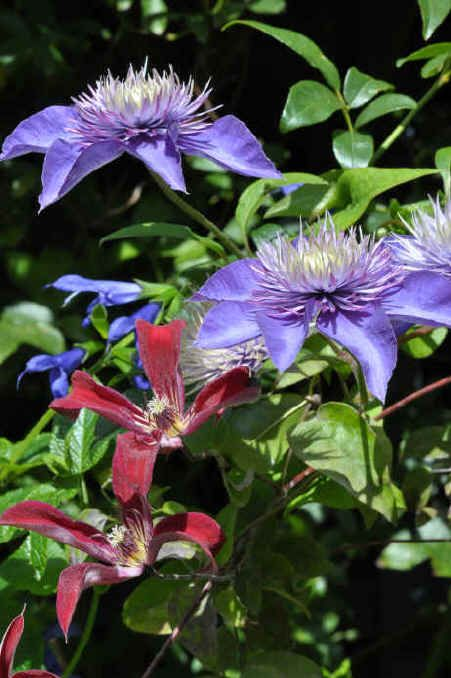 Clematis 'Multi Blue' and Clematis texensis 'Gravetye Beauty'