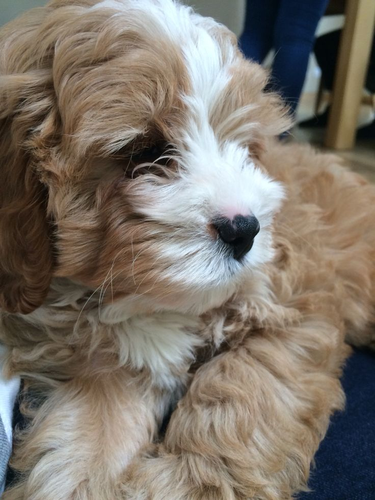 Cavapoo /Cavoodle puppy 9 weeks old!!!! (With images
