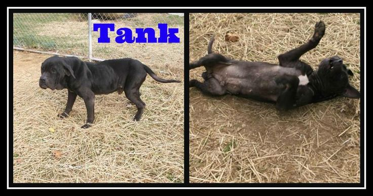 SHELTER IS FULL!!!! SENIOR NEEDS HELP!!  Tank - Mastiff Pickaway County Dog Shelter - Circleville, OH (bs)  Another senior who ended up at the shelter....UGH!!! Please share and let's hope Tank get a comfy retirement home.  http://www.petfinder.com/petdetail/28133781/ Pickaway County Dog Shelter  21253 Ringgold Southern Road  Circleville, OH 43113  Phone: 740-474-3741 Email: dogshelter@pickaway.org