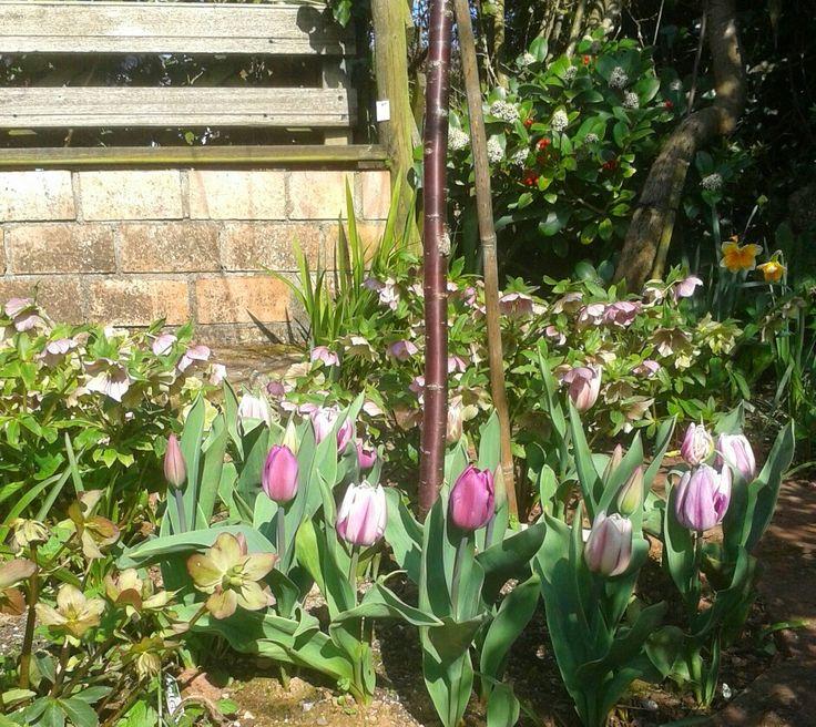 Tulips around Prunus Serula.