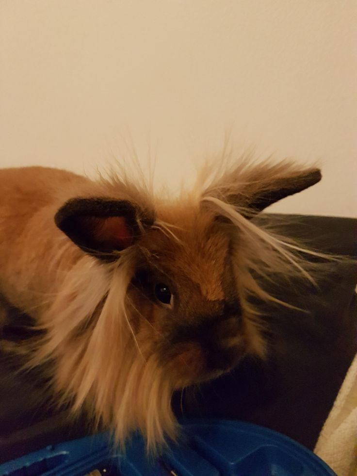 My lionhead bunny got a little static from running around our new synthetic carpets