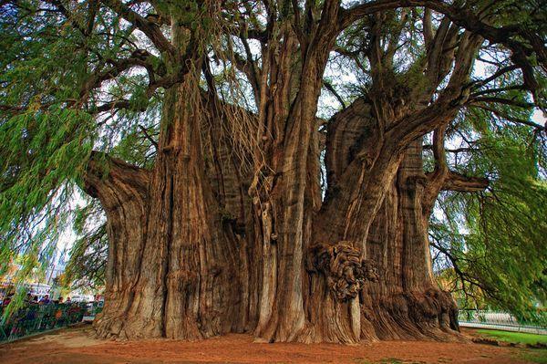 (Taxodium mucronatum) or Árbol del Tule, Mexico - the biggest tree in the world
