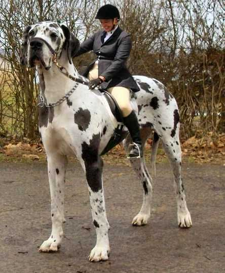 Biggest Dog In The World - Google Search
