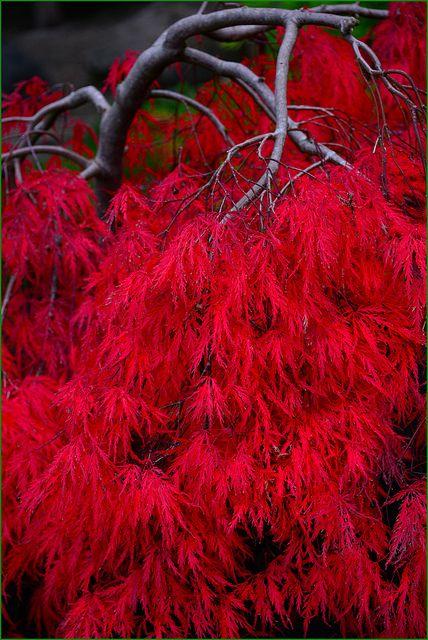 Yashiro Japanese Garden, Olympia, Washington, Curly Maple Fall Color