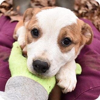 Glastonbury, CT - Boxer Mix. Meet Mia, a puppy for adoption. http://www.adoptapet.com/pet/17302961-glastonbury-connecticut-boxer-mix