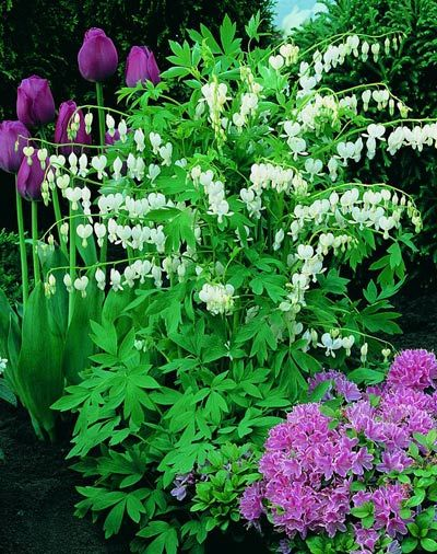 Bleeding Heart plant: hummingbirds love it and it's a good plant for a yard in the shade