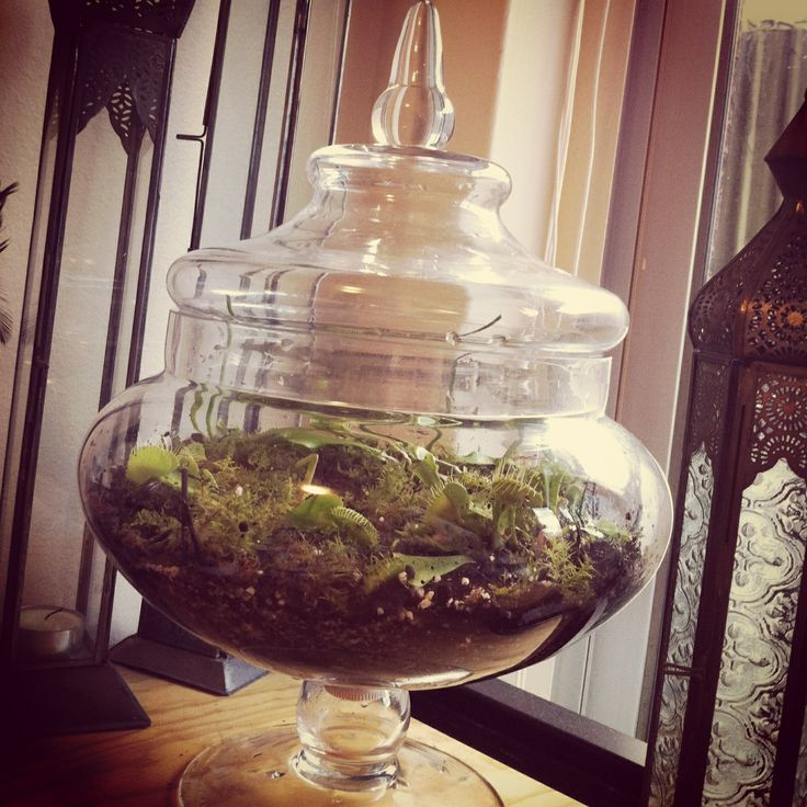 Venus flytrap terrarium I made myself :)