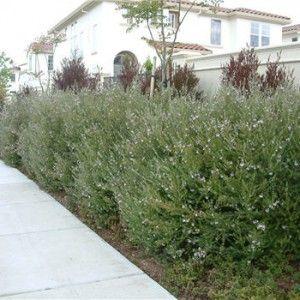 """Westringea fruiticosa hedge 2 10"""" pot $9.90"""
