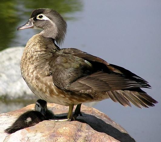 Wood Duck female with young | Wood Duck | Pinterest
