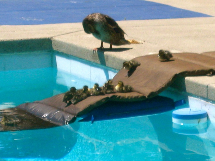 Ducklings In Pool With Mother Duck Pets Pinterest Mothers Pools And Ducks