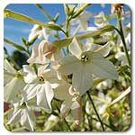 Organic Jasmine-Scented Nicotiana