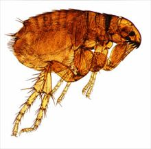 cat flea treating cats for fleas. Fleas can also live in the yard.