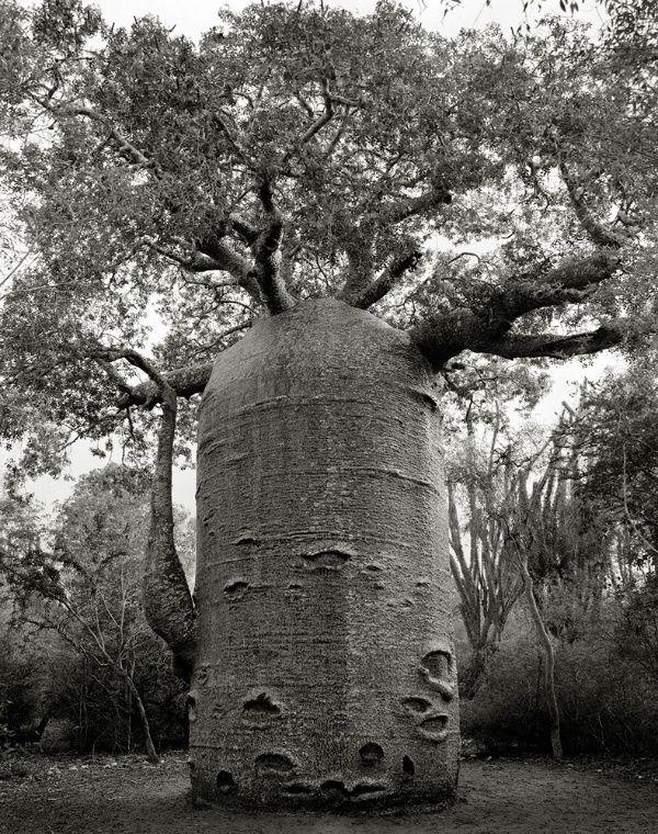 写真家のベス・ムーン氏が撮影した、見るものを圧倒する世界の老木。ソコトラ島のリュウケツジュからマダガスカルのバオバブまで10点。                                                                                                                                                                                 もっと見る