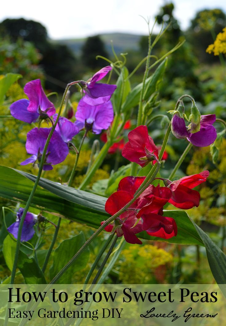 Sweet Peas are the quintessential English Cottage Garden flower. They're easy to grow and produce masses of deeply fragrant blossoms. Here are some tips on growing them in either containers or in the garden.