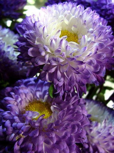 """""""Purple haze!"""" (Asters) by Jean Turner Cain on flickr"""