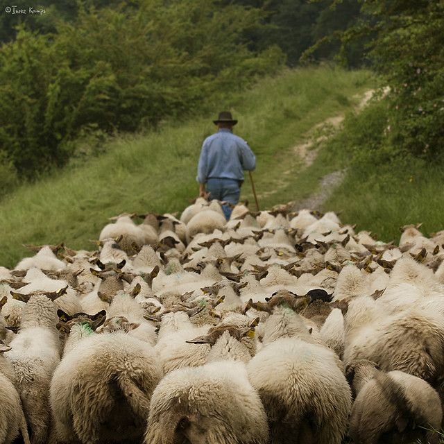 Shepherd Leads His Sheep Down A Country Road