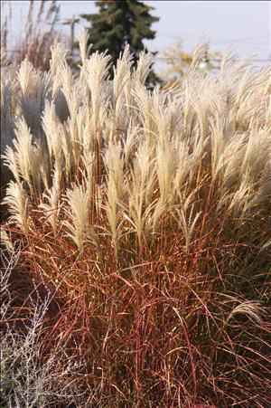 Miscanthus sinensis 'Huron Sunrise'