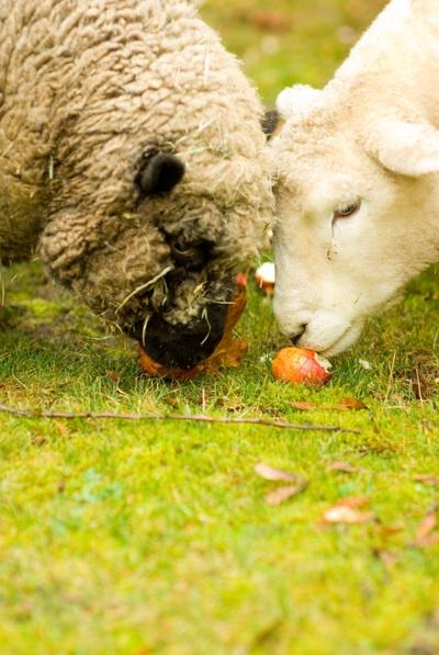 sheep: Catsdogsbirdsinsectsetc