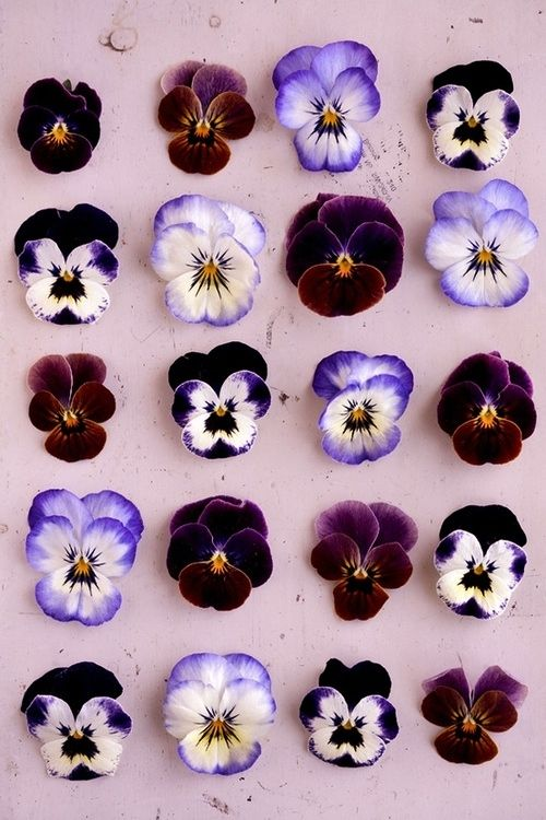 branda:  (vía • pretty flowers purple violet pansy pansies flower petals fivemeinutts •)
