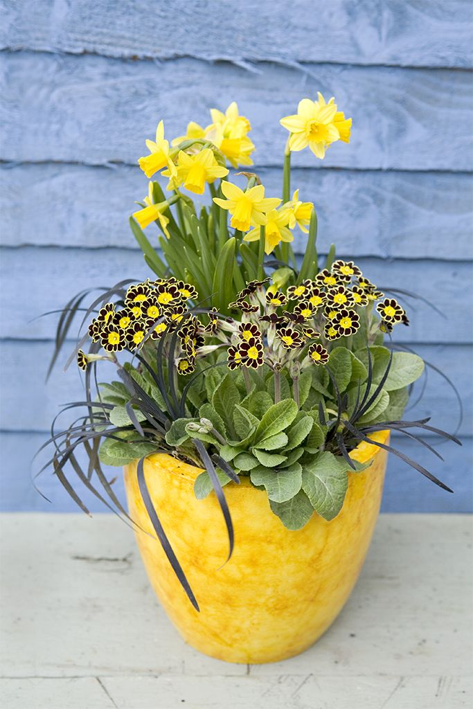 Potted spring bulbs: The ultimate yellow and black combination – yellow daffodils in a yellow pot with primula Gold Laced and the striking black foliage of Ophiopogon planiscapus 'Nigrescens'. Find out how to create this pot at http://www.gardenersworld.com/plants/pots-containers/bulbs/daffodil-and-primula-pot-display/1153.html Photo by Sarah Cuttle.