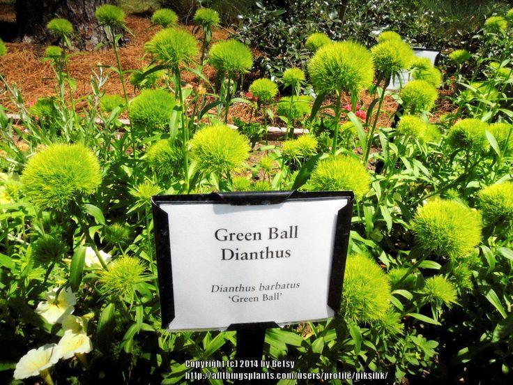 Photo of (Dianthus barbatus 'Green Trick') Green ball ...