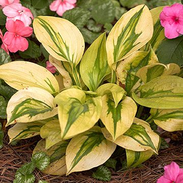 'Stitch in Time' You'll look twice at 'Stitch in Time', a unique variety that has green leaves widely edged in bright gold that looks like it's been sewn on. The texture looks great with other small hostas. Size: 14 inches tall, 24 inches wide Zones: 3-9 Slug Resistant: Moderate Flowers: Lavender Year Introduced: 2004
