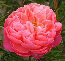 "Coral Charm  Herbaceous hybrid; semi-double, coral, early midseason, approx. 36 - 48"" ( 90 - 120 cm) tall, no fragrance  Winner of the American Peony Society Gold Medal in 1986; Grand Champion peony in 2003; numerous, large flowers of antique rose form are a rich apricot coral, which fades to a soft peach shade; very tall, vigorous plant; good garden plant and great cut flower: Coral Peonies, Charm Peony, Charms, Wedding, Flowers, Garden"