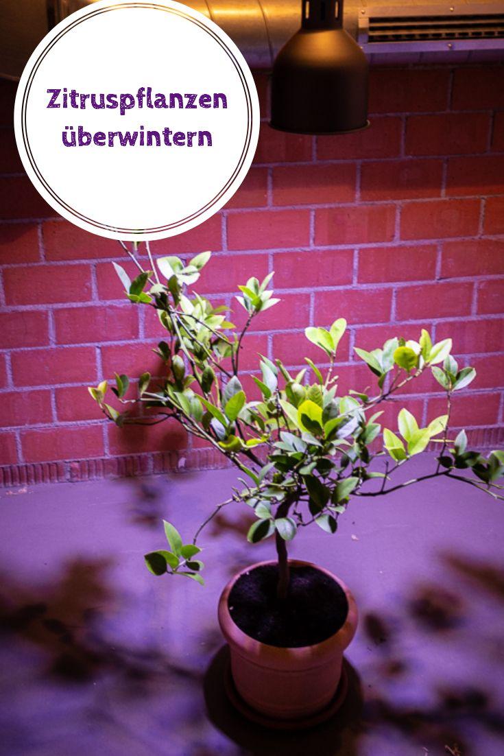 Zitruspflanzen überwintern