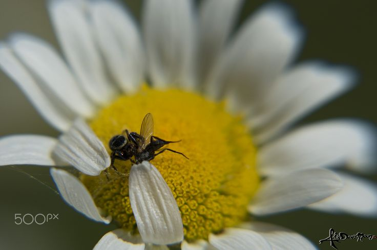 Predator - A spider and a fly are fighting for life.. on a daisy