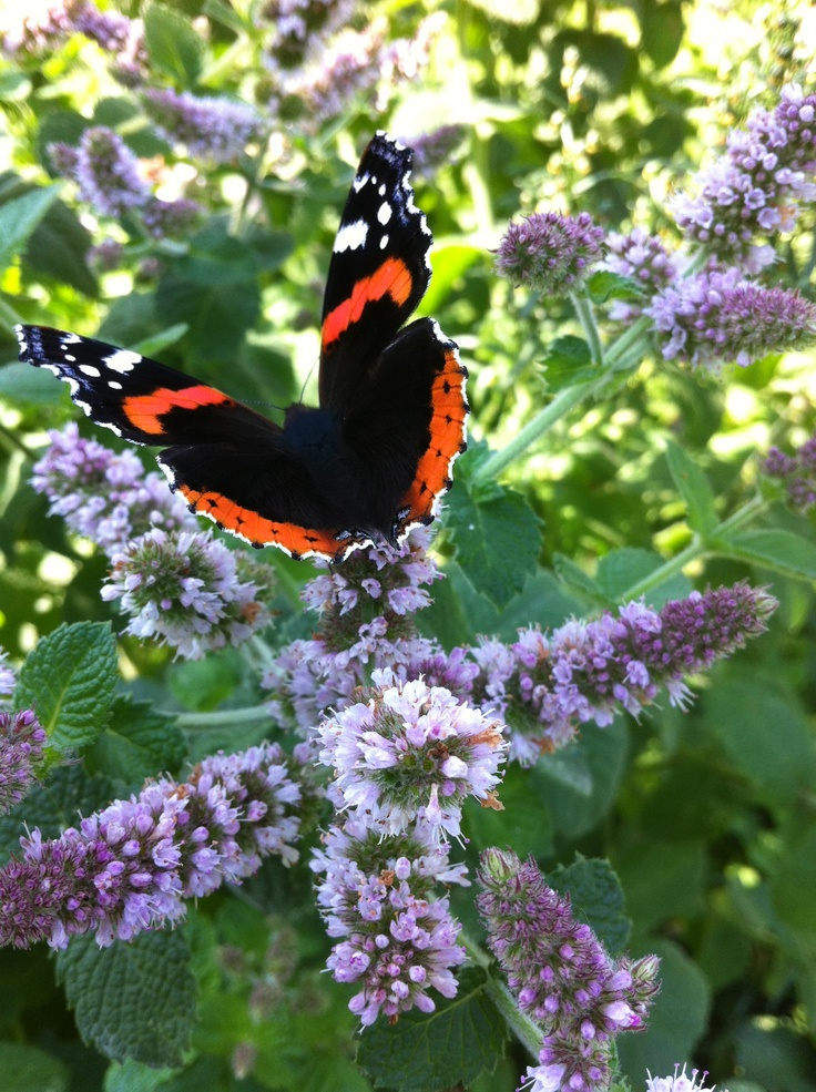 Red Admiral on Apple Mint