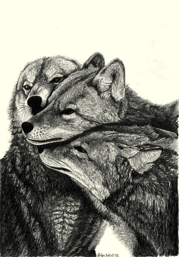 wolf family pencil drawing