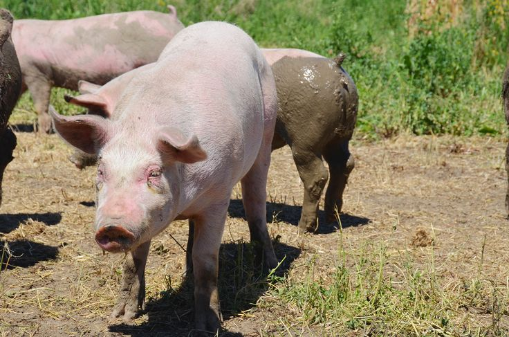 Spring is one of the best seasons for pork farming!