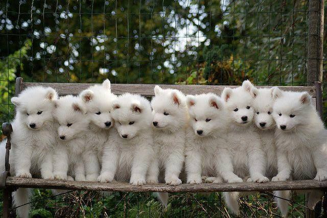 A pack of Small white Samoyed puppies.. Click the pic for more awww