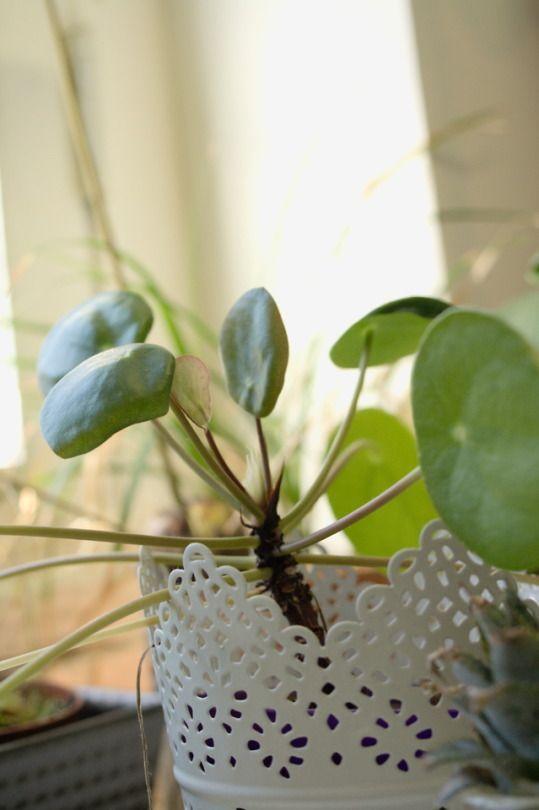 Repotting Pilea peperomioides – Houseplants