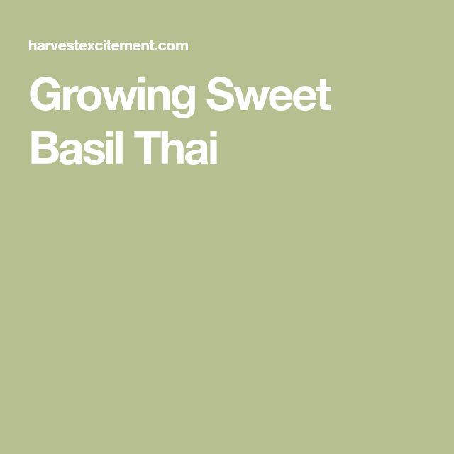 Growing Sweet Basil Thai