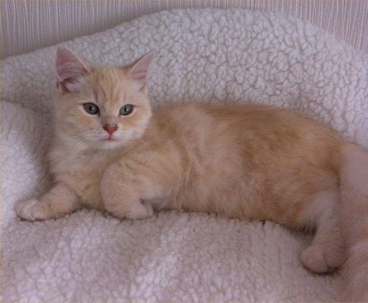 Filensio RagaMuffin kittens will