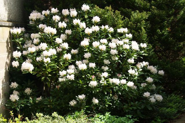 Rhododendron 'Cunningham's White'.  Evergreen and quite slow-growing but eventually makes a shrub about 2x 2m.  Best in a woodland edge situation.