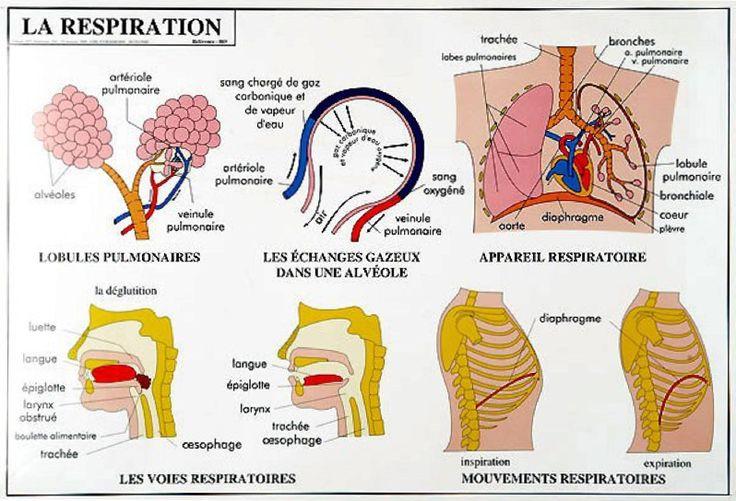 Fonction biologique qui permet l'absorption de l'oxygène de l'air (nécessaire au métabolisme) et le rejet du gaz carbonique produit par le corps ; ensemble des phénomènes concourant à assurer les é…