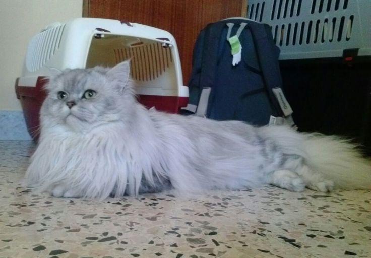 #Romeo #gatto #persiano #chinchilla #silver #shaded #persiancat #chinchillacat #cats #13months