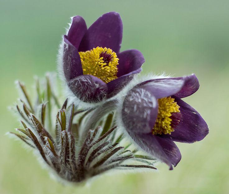 Pulsatilla pratensis subsp. nigricans - Spring tour....