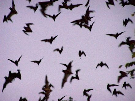 A whole flurry of bats - Behind the shutters - In the pool