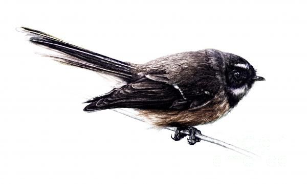 Fantail in color Drawing