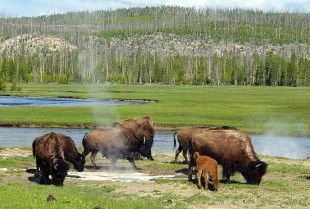 Target: Dan Wenk, Superintendent of Yellowstone National Park  Goal: Put an end to Yellowstone's annual bison slaughter of 600 to 900 animals.  Every year, around 600 to 900 terrified bison are rounded up and killed in Yellowstone National Park. The main reason for this culling is because of neighboring cattle ranchers