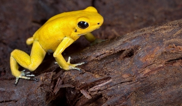 Beautiful and poisonous: the most dangerous frog in the world