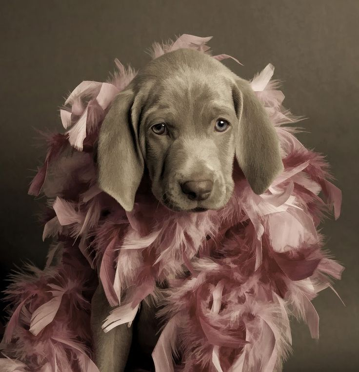 adorableHunting Dogs, Dresses Up, Pets, Pink, Weimaraner Puppies, Good, Things, Silver Labs, Animal Photos