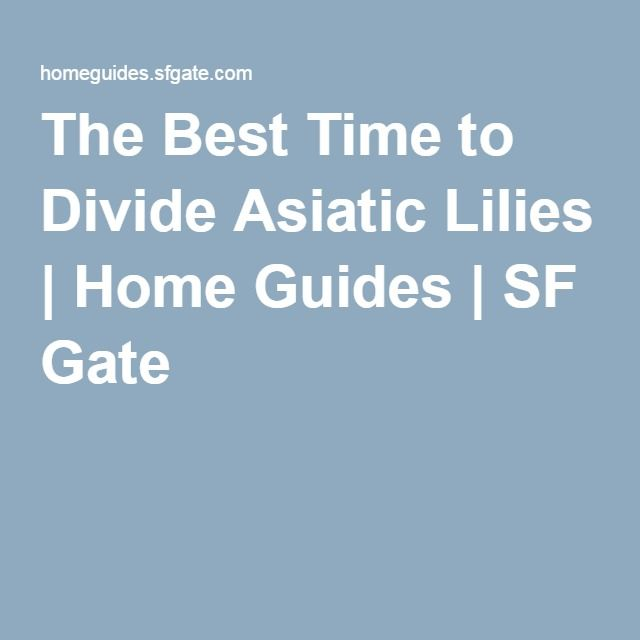The Best Time to Divide Asiatic Lilies | Home Guides | SF Gate