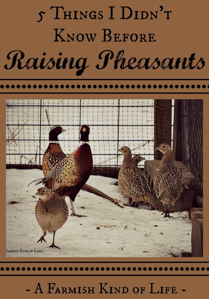 Raising Pheasants: 5 Things I Didn't Know | Raising ...