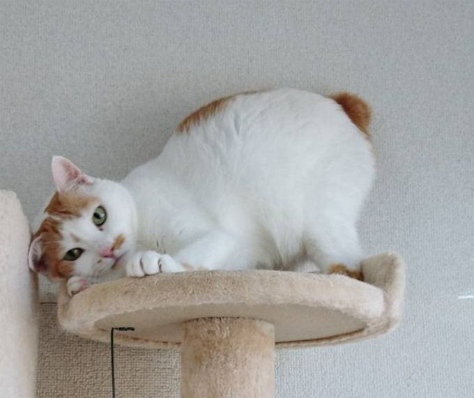 Japanese Bobtail Cats And Kittens