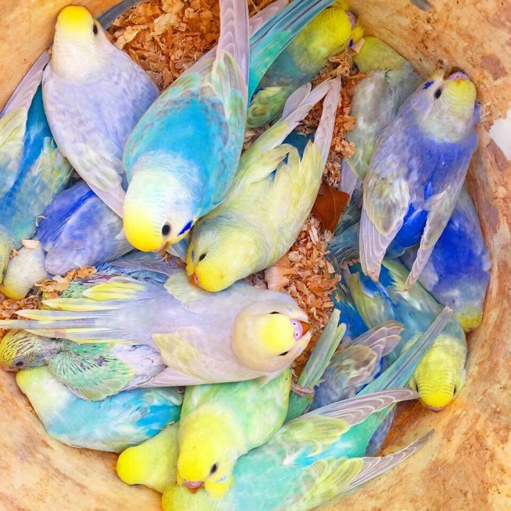 Rainbow budgies from Ryan's Rainbow Budgies | Australiano ...